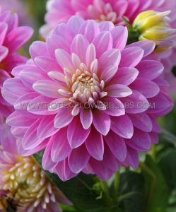 DAHLIA DECORATIVE (BORDER/POTS) 'GALLERY REMBRANDT' I (25 P.CARTON)