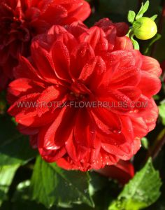 DAHLIA DECORATIVE (BORDER/POTS) 'GALLERY SINGER' I (25 P.CARTON)