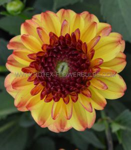 DAHLIA DECORATIVE (BORDER/POTS) 'ICOON' I (10 PKGS.X 1)