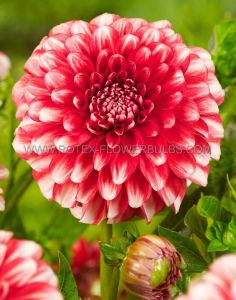 DAHLIA DECORATIVE (BORDER/POTS) 'LITTLE TIGER' I (25 P.CARTON)