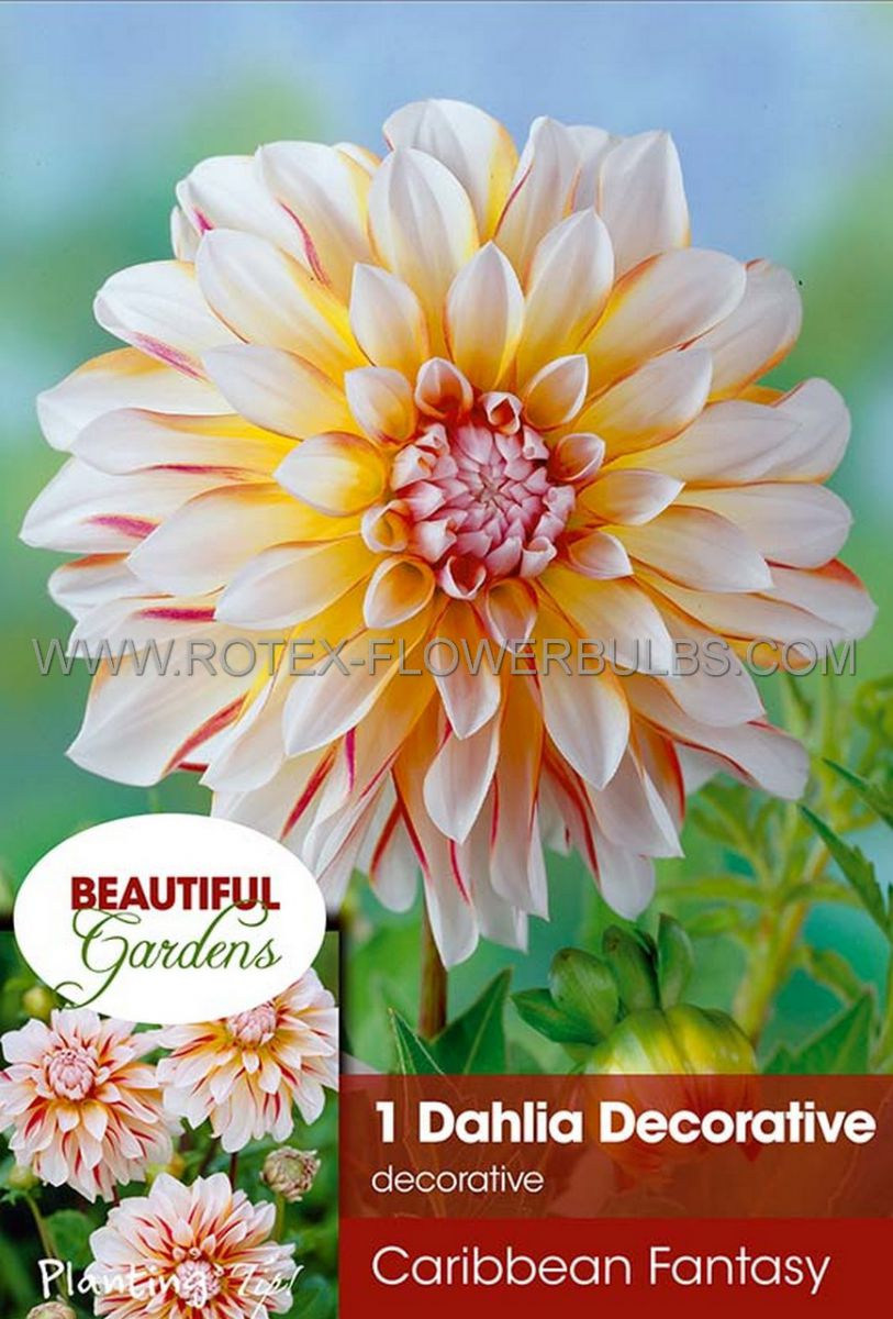 dahlia decorative caribbean fantasy i 10 pkgsx 1