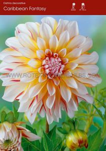 DAHLIA DECORATIVE 'CARIBBEAN FANTASY' I (15 P.OPEN TOP BOX)