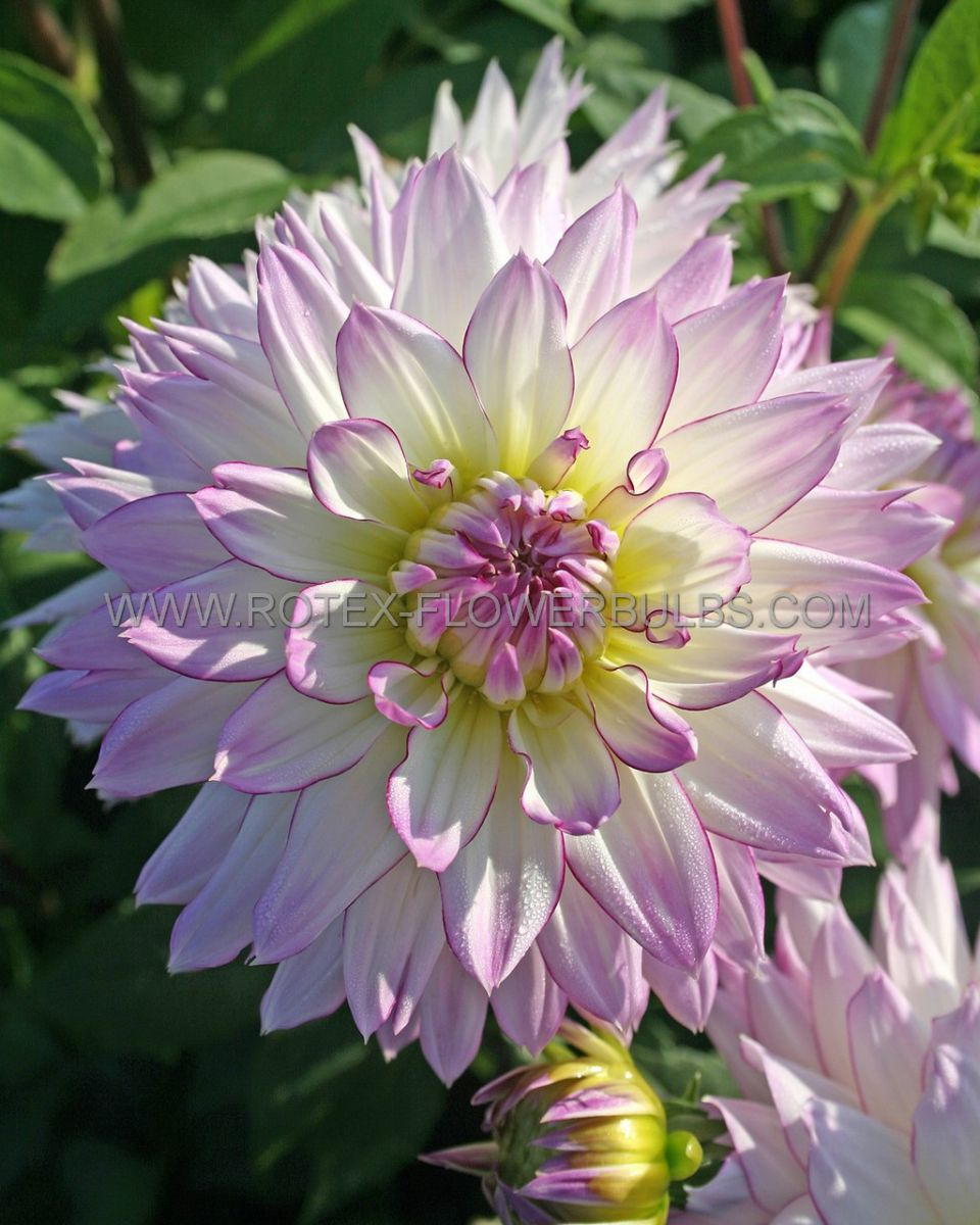 dahlia decorative crazy love i 25 pcarton