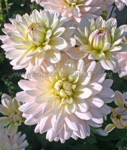 DAHLIA DECORATIVE 'DIANA'S MEMORY' I (25 P.CARTON)