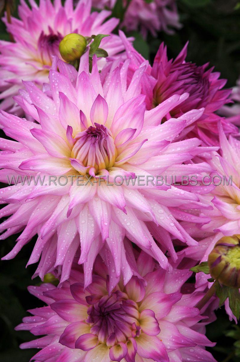 dahlia decorative dinnerplate ace summer emotions i 10 pkgsx 1