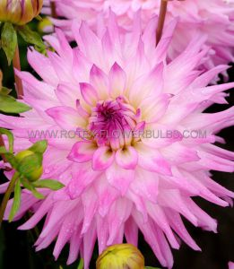 DAHLIA DECORATIVE (DINNERPLATE) 'ACE SUMMER EMOTIONS' I (15 P.OPEN TOP BOX)