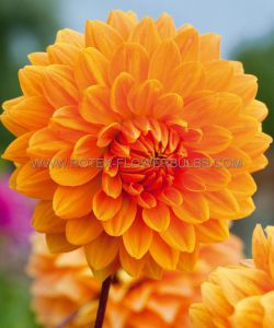 DAHLIA DECORATIVE (DINNERPLATE) 'ACE SUMMER SUNSET' I (10 PKGS.X 1)
