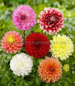DAHLIA DECORATIVE (DINNERPLATE) ASSORTMENT I (40 PKGS.X 1)