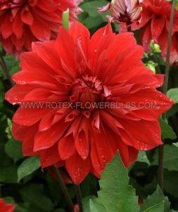 DAHLIA DECORATIVE (DINNERPLATE) 'BABYLON RED' I (25 P.CARTON)