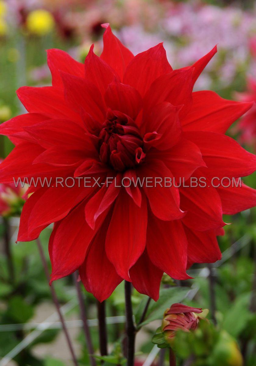 dahlia decorative dinnerplate babylon red i 25 pcarton