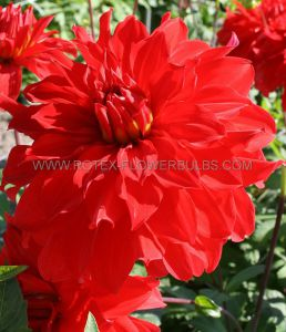 DAHLIA DECORATIVE (DINNERPLATE) 'BARBAROSSA' I (15 P.OPEN TOP BOX)