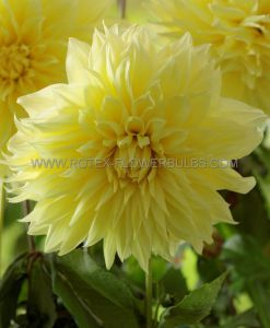 DAHLIA DECORATIVE (DINNERPLATE) 'BILBAO' I (15 P.OPEN TOP BOX)
