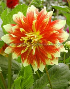 DAHLIA DECORATIVE (DINNERPLATE) 'BODACIOUS' I (10 PKGS.X 1)