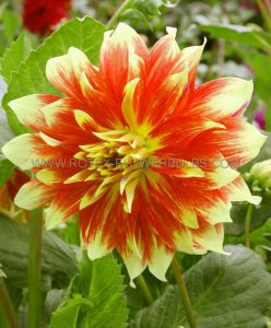 DAHLIA DECORATIVE (DINNERPLATE) 'BODACIOUS' I (25 P.CARTON)