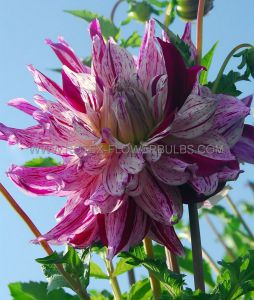 DAHLIA DECORATIVE (DINNERPLATE) 'BRISTOL STRIPE' I (25 P.CARTON)
