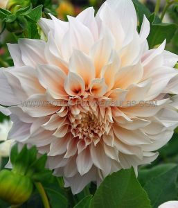 DAHLIA DECORATIVE (DINNERPLATE) 'CAFE AU LAIT' I (15 P.OPEN TOP BOX)
