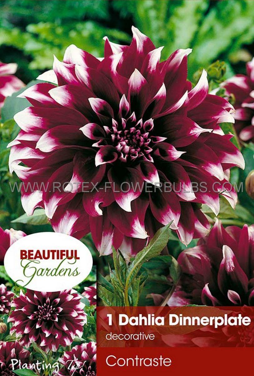 dahlia decorative dinnerplate contraste i 10 pkgsx 1