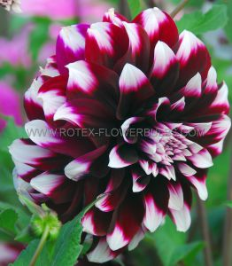 DAHLIA DECORATIVE (DINNERPLATE) 'CONTRASTE' I (15 P.OPEN TOP BOX)