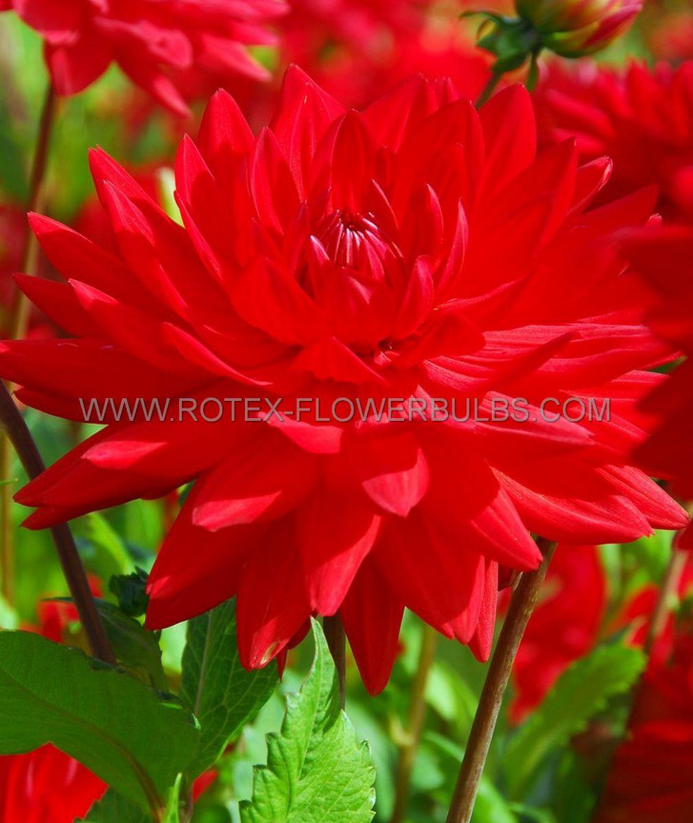 dahlia decorative dinnerplate creve coeur i 10 pkgsx 1