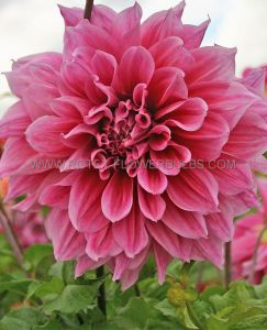 DAHLIA DECORATIVE (DINNERPLATE) 'EMORY PAUL' I (15 P.OPEN TOP BOX)