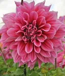 DAHLIA DECORATIVE (DINNERPLATE) 'EMORY PAUL' I (25 P.CARTON)