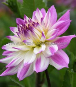 DAHLIA DECORATIVE (DINNERPLATE) 'FERNCLIFF ILLUSION' I (25 P.CARTON)