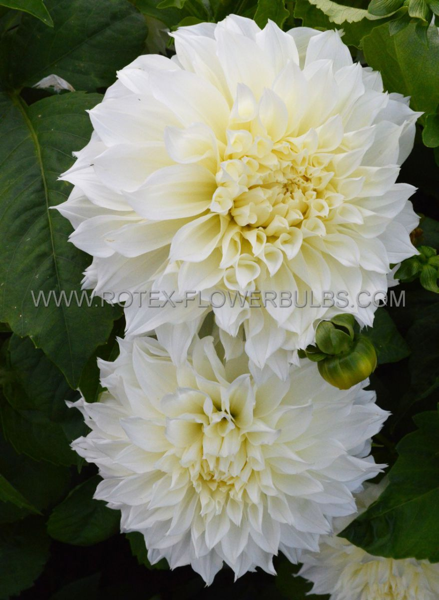dahlia decorative dinnerplate fleurel i 10 pkgsx 1