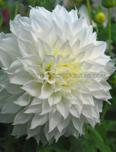 DAHLIA DECORATIVE (DINNERPLATE) 'FLEUREL' I (15 P.OPEN TOP BOX)