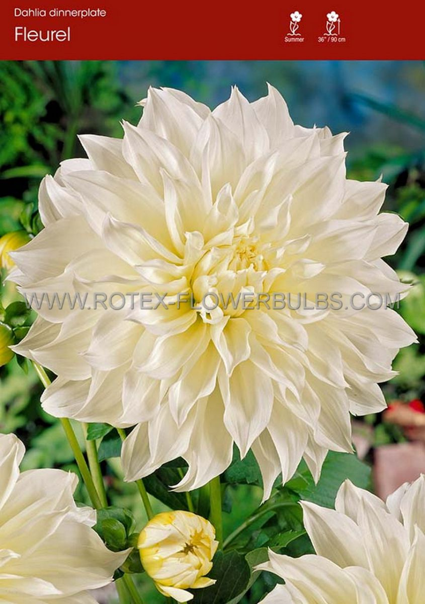dahlia decorative dinnerplate fleurel i 15 popen top box