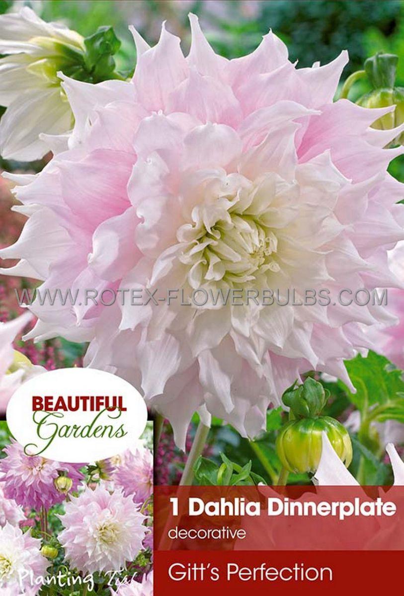 dahlia decorative dinnerplate gitts perfection i 10 pkgsx 1