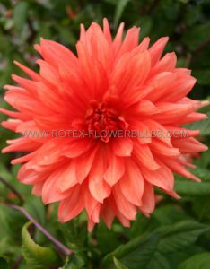 DAHLIA DECORATIVE (DINNERPLATE) 'ISLANDER' I (25 P.CARTON)