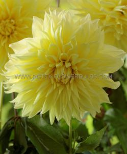 DAHLIA DECORATIVE (DINNERPLATE) 'KELVIN FLOODLIGHT' I (25 P.CARTON)
