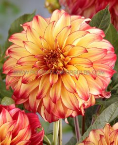 DAHLIA DECORATIVE (DINNERPLATE) 'LADY DARLENE' I (25 P.CARTON)