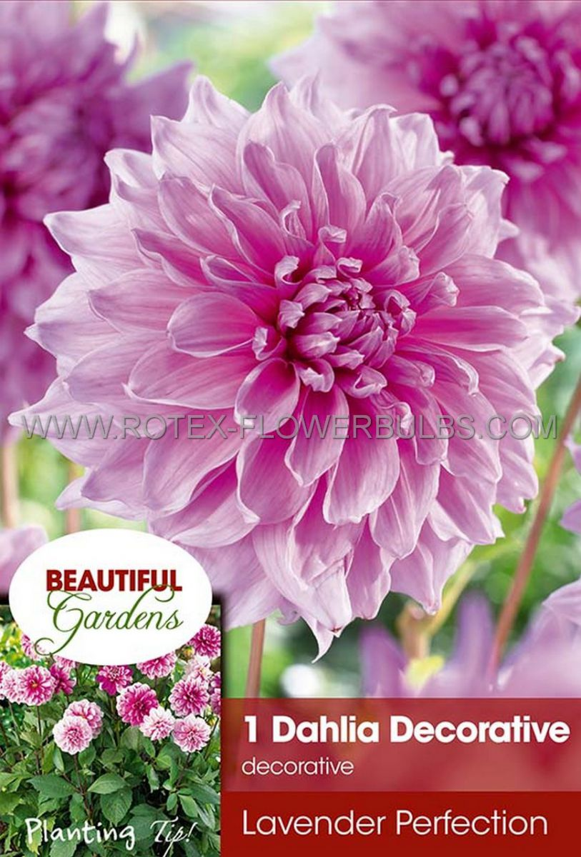dahlia decorative dinnerplate lavender perfection i 10 pkgsx 1