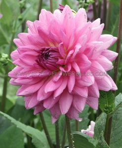 DAHLIA DECORATIVE (DINNERPLATE) 'LAVENDER PERFECTION' I (15 P.OPEN TOP BOX)