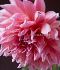DAHLIA DECORATIVE (DINNERPLATE) 'MAKI' I (15 P.OPEN TOP BOX)