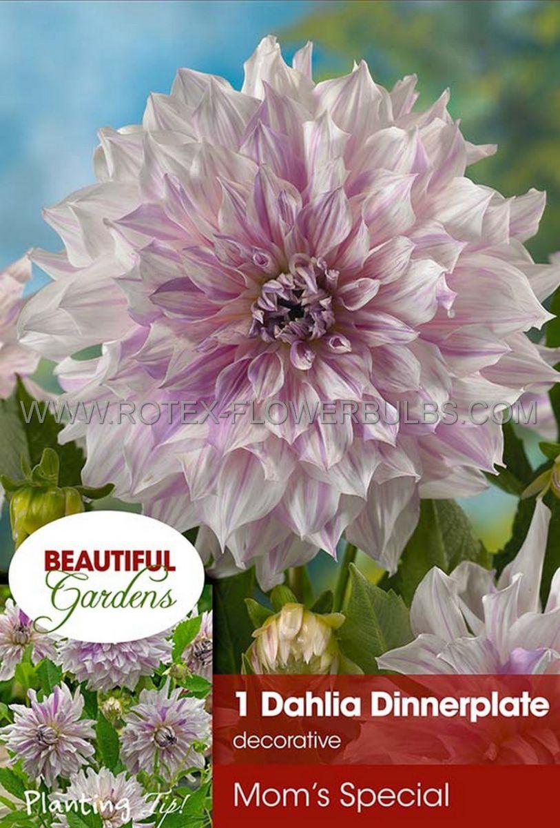 dahlia decorative dinnerplate moms special i 10 pkgsx 1