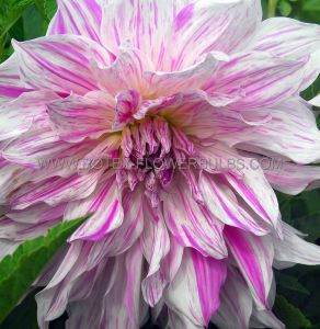 DAHLIA DECORATIVE (DINNERPLATE) 'MOM'S SPECIAL' I (25 P.CARTON)
