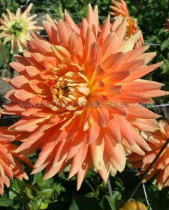 DAHLIA DECORATIVE (DINNERPLATE) 'MOTTO' I (25 P.CARTON)