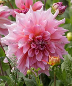 DAHLIA DECORATIVE (DINNERPLATE) 'OTTO'S THRILL' I (25 P.CARTON)..