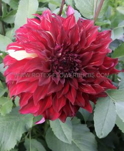 DAHLIA DECORATIVE (DINNERPLATE) 'SPARTACUS' I (25 P.CARTON)