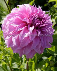 DAHLIA DECORATIVE (DINNERPLATE) 'VASSIO MEGGOS' I (25 P.CARTON)
