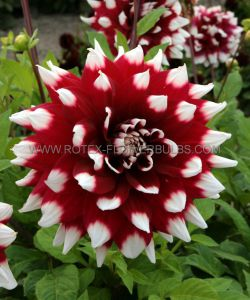 DAHLIA DECORATIVE 'DUET' I (25 P.CARTON)