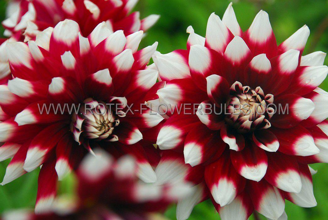 dahlia decorative duet i 25 pcarton