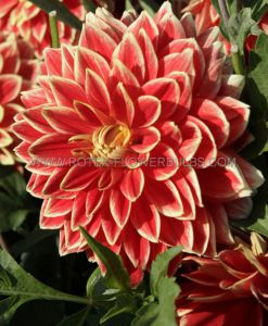 DAHLIA DECORATIVE 'DUTCH CARNIVAL' I (25 P.CARTON)