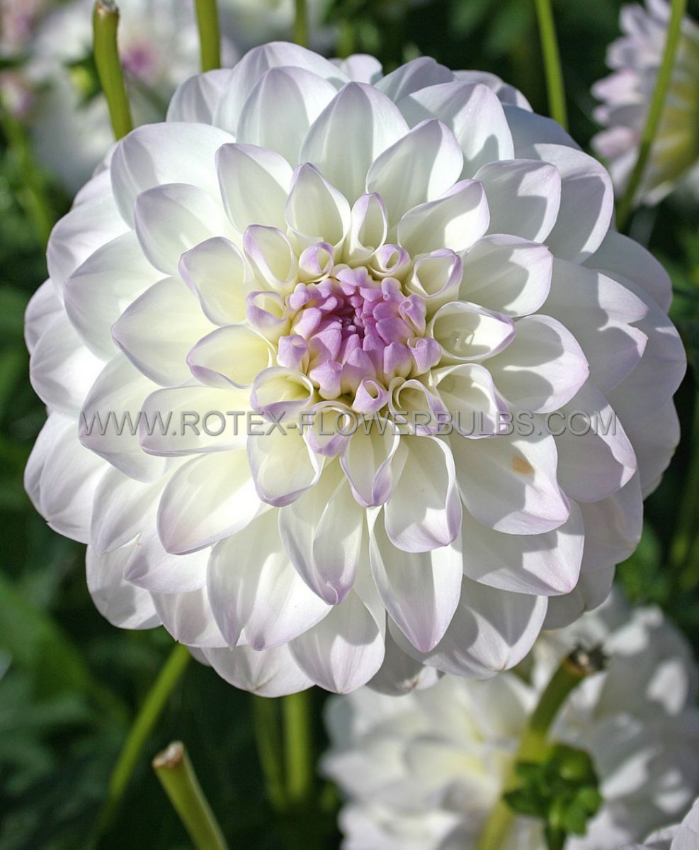 dahlia decorative eveline i 25 pcarton
