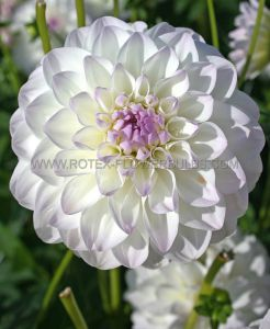 DAHLIA DECORATIVE 'EVELINE' I (25 P.CARTON)