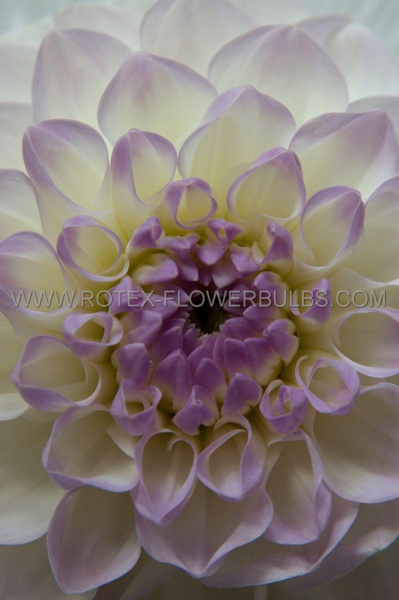 dahlia decorative eveline i 25 pcarton