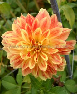 DAHLIA DECORATIVE 'EXPLOSION' I (25 P.CARTON)