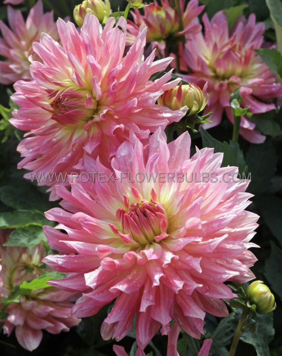 dahlia decorative extase i 25 pcarton